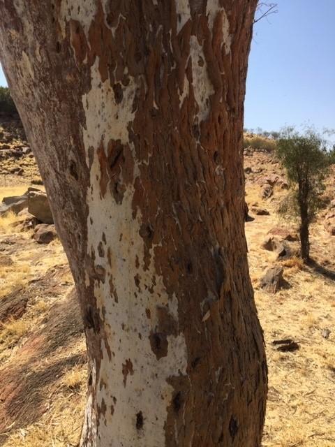 Alice Springs tree